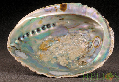 Abalone Smudge Schelp Extra Large