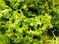Petroselinum Crispum tinctuur