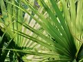 Sabal-Serrulata-(saw-palmetto)-tinctuur