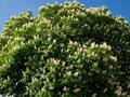 Aesculus Hippocastanum tinctuur